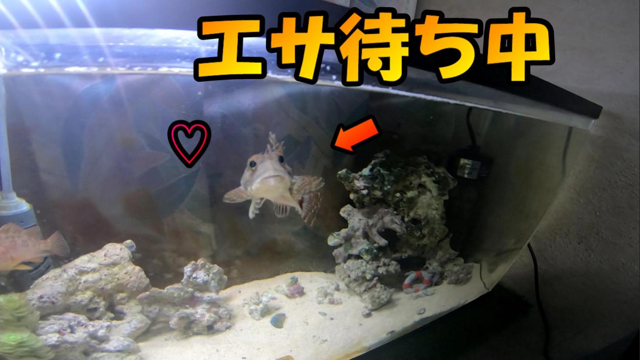 高山くん飼育水槽紹介】飼育されているカジカが凄く可愛かった ...
